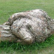 Loupe de merisier 3 pieds de dia.